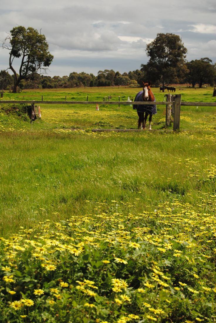 Dandelions in the back paddock by Judith ann.www.beautifulwriting.com.au