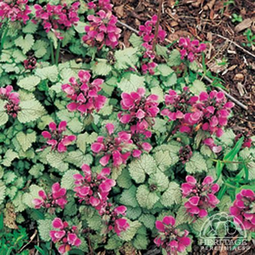 Plant Profile for Lamium maculatum 'Brocade' - Creeping Lamium Perennial
