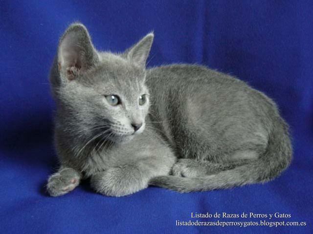 El Azul Ruso Es un gato de tamaño medio y de hermoso pelaje corto plateado, brillantes ojos verdes y de elegante caminar, tranquilo y su suave voz. Es  inteligente y afectuoso, disfruta el contacto con los humanos y es ideal para la vida en familia