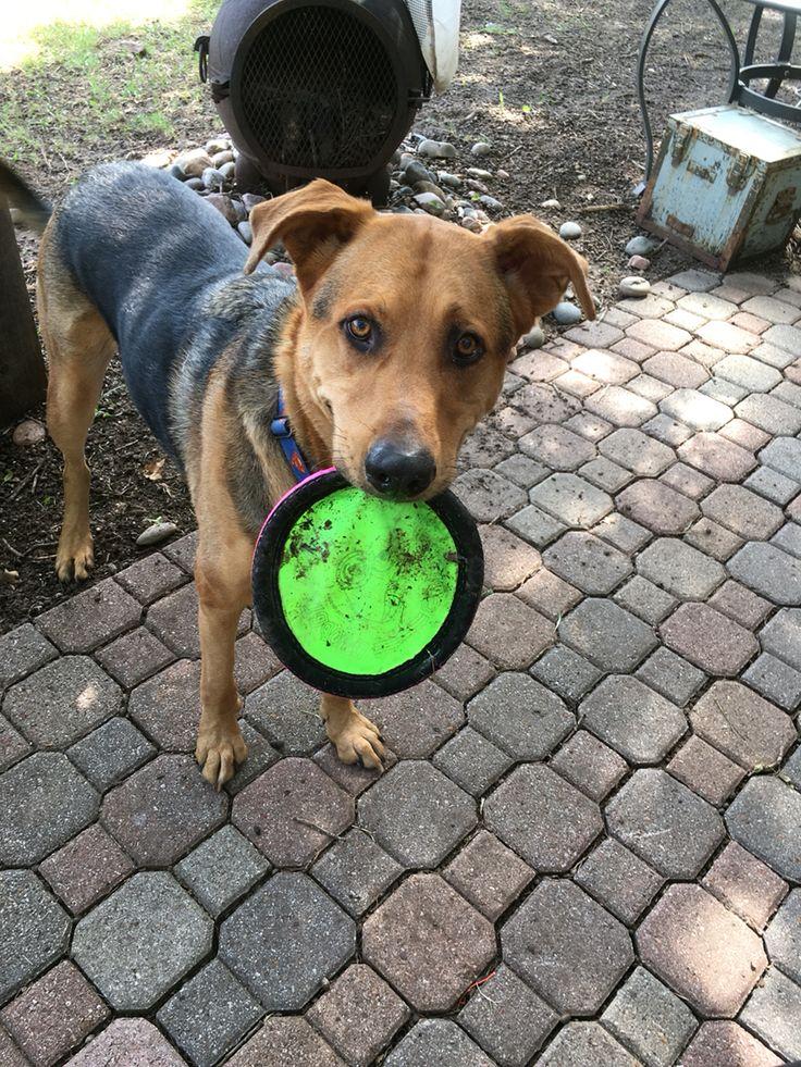 Handsome Henry & a frisbee #gsd #rescue #petsitter