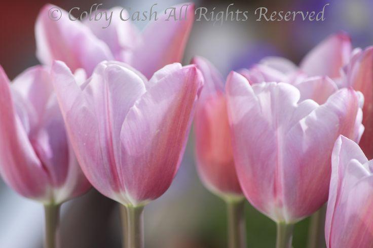 Mistress Grey Tulips