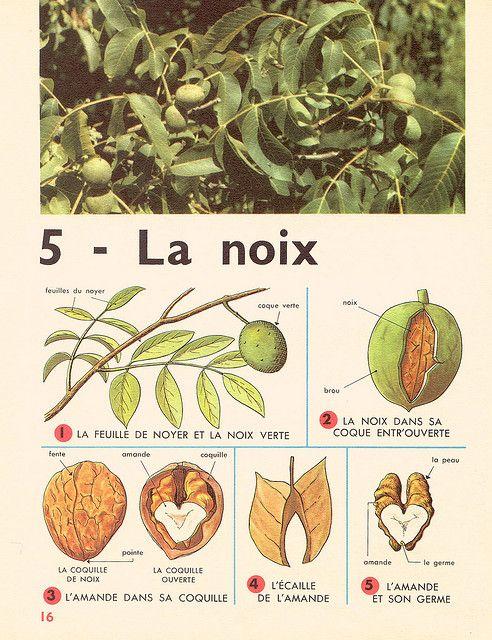 Leçons de choses 1964 : la noix