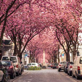Heerstrasse, Bonn Germany. Cherry blossoms!