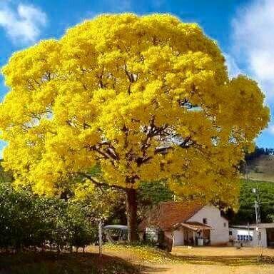Ipê amarelo!!!