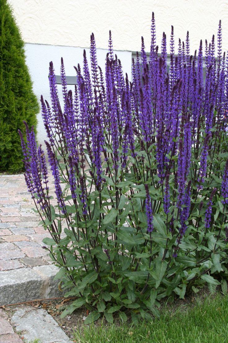 Salvia nemorosa Caradonna. Acquired 24/06/16 Location Ground on pot
