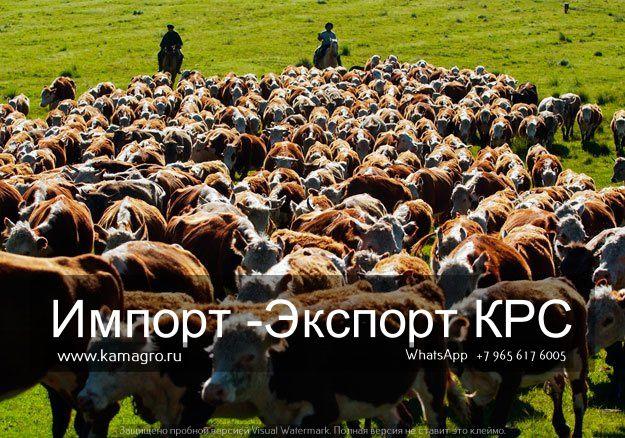 Продажа КРС живым весом   Мы занимаемся продажей племенных и товарных пород КРС живым весом !  Заходите на сайт и получите бесплатную консультацию. Наш сайт www.kamagro.ru