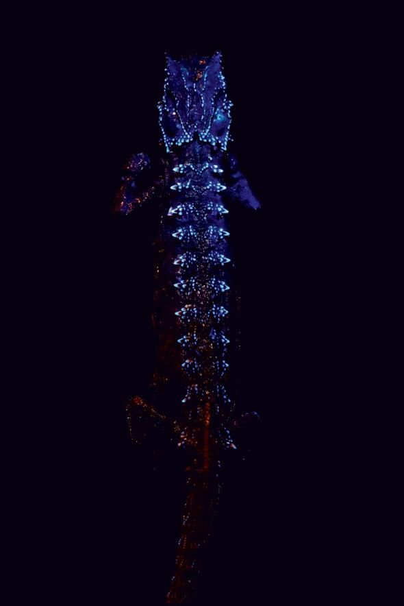 Chameleons are color-changing, tongue-whipping, eye-rolling lizards. But did you know they also glow in the dark?    A new study published this week in the journal Scientific Reports revealed just that. It's the first time researchers have reported bone-based fluorescence in vertebrates.