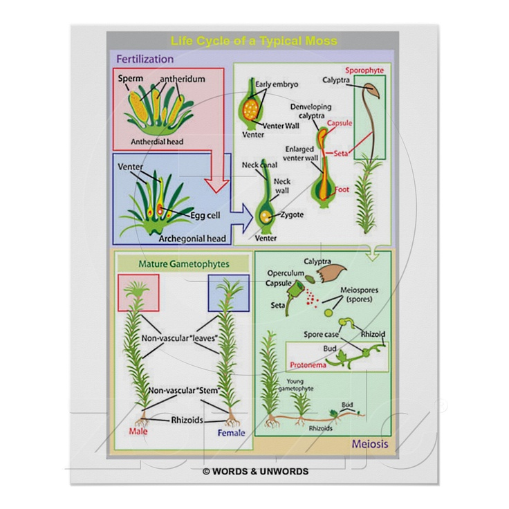 bryophyte and pteropyte life cycles Like all land plants (embryophytes), bryophytes have life cycles with  in each  cycle, a haploid gametophyte, each of whose cells.