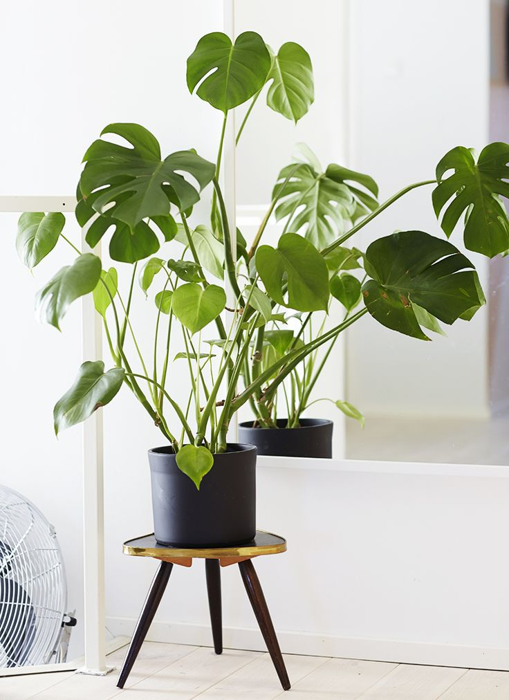 Monstera framför spegel