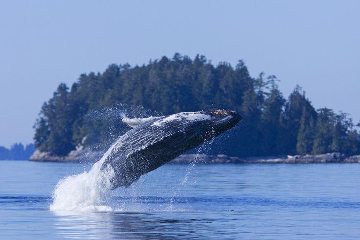 Tofino Whale Watching - Cruiser Tour   Jamie's Whaling Station