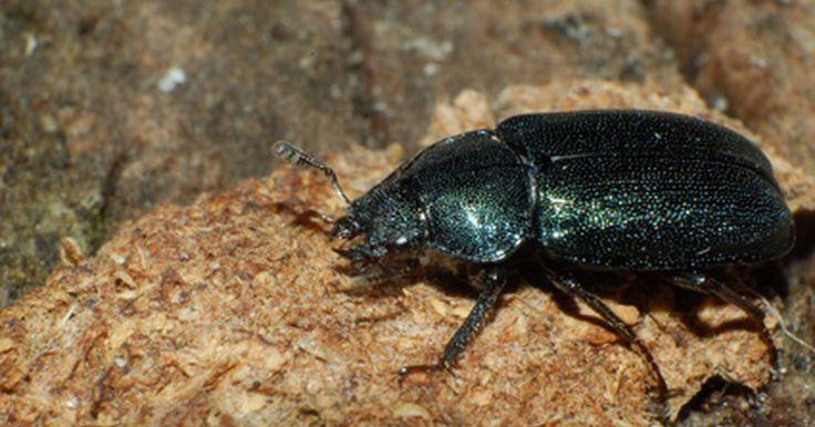 """Ciclo de vida del escarabajo rinoceronte. El escarabajo rinoceronte obtuvo su nombre por el distintivo, gran """"cuerno"""" en la cabeza de los escarabajos masculinos, que se asemeja a un cuerno de rinoceronte. Los escarabajos rinoceronte son conocidos por su increíble fuerza una vez que se convierten en adultos, pero estos escarabajos comienzan como larvas vulnerables y completan un ciclo de ..."""
