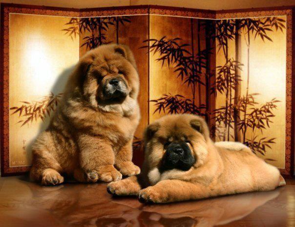 die besten 25 chau hund ideen auf pinterest nat rliche hundebehandlungen einfache. Black Bedroom Furniture Sets. Home Design Ideas