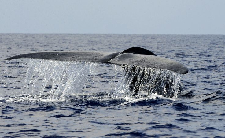Loudest Animal is a blue whale