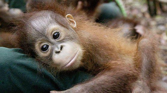 Jede Minute wird eine Fläche von 35 Fußballfeldern tropischer Regenwälder vernichtet, und einer der größten Verursacher ist die Palmölindustrie. Eingesetzt wird Palmöl unter anderem für Schokoriegel. Nestlé behauptet, nur nachhaltiges Palmöl zu verwenden. Doch die Zertifizierung ist nachgewiesenermaßen ein Etikettenschwindel. Fordern Sie Nestlé auf, vollständig auf Palmöl zu verzichten.