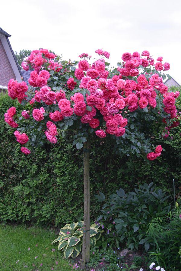 Штамбовые розы - Зеленый сад