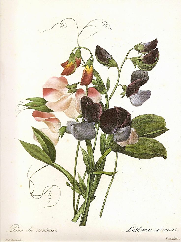 A beautiful sweet pea botanical bookplate illustration by Pierre-Joseph Redoute (1759-1840)