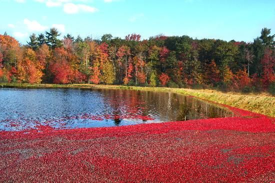 Johnston's Cranberry Marsh, Muskoka Ontario #GILOVEONTARIO. There are good cranberries grown in this area and they have a Cranberry Festival every fall outside Bala.