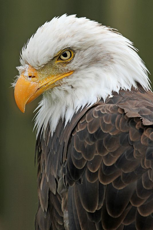 American Bald Eagle - 'Devil in Feathers'