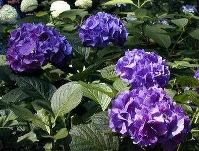 40 Best Images About Hydrangea Garden On Pinterest Snow