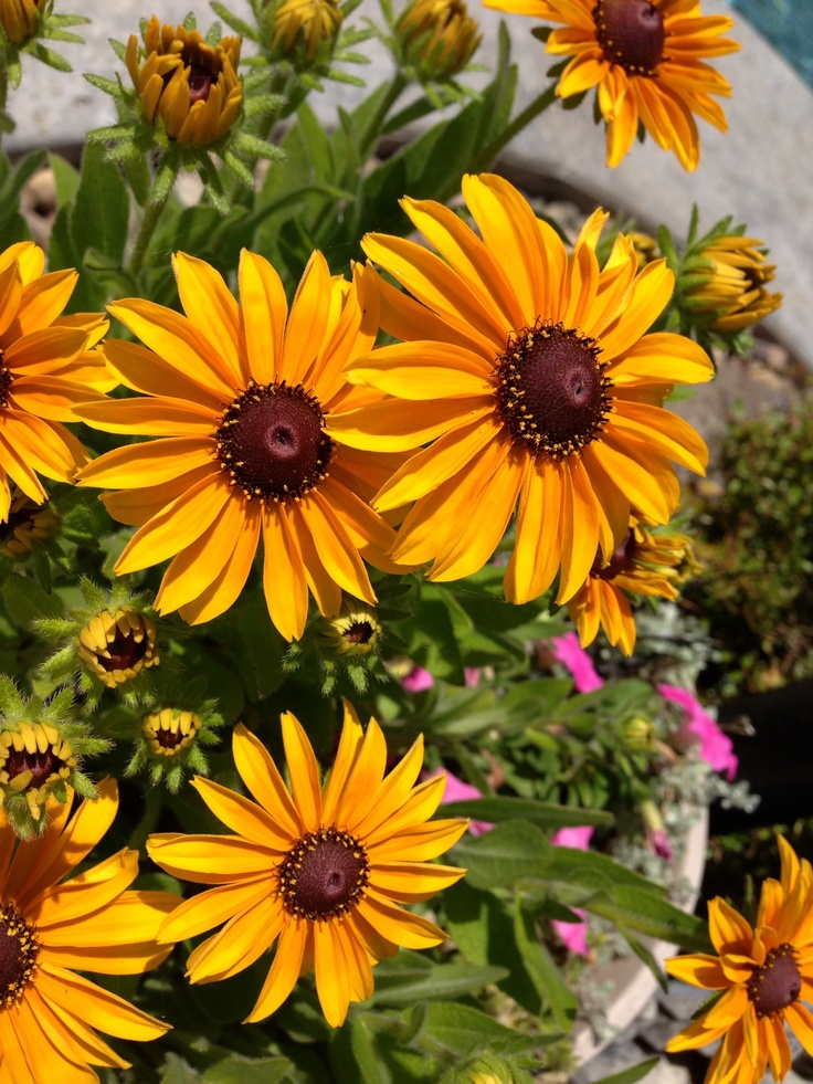 Black Eyed Susan I D Love To Incorporate These For