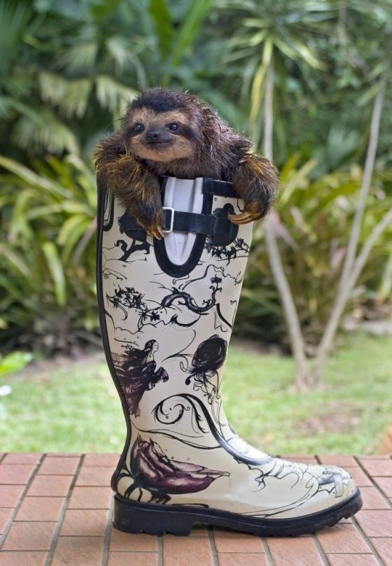 A Baby Sloth Hanging Out In A Giant Rain Boot