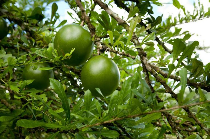 Calabash Tree In The Yard Growing Calabash Trees In Your Yard