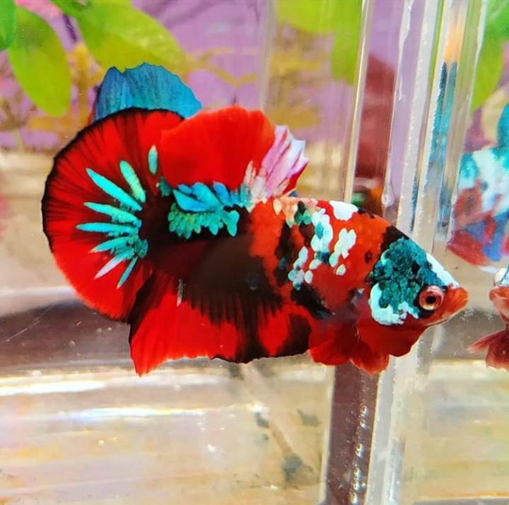 Ring Betta Multi Color Bagi Yang Berminat Bisa Langsung Wa Whatsapp 628568399149 Ikancupang Ikanhias Bettafish Cupangtang Di 2020 Ikan Cupang Ikan