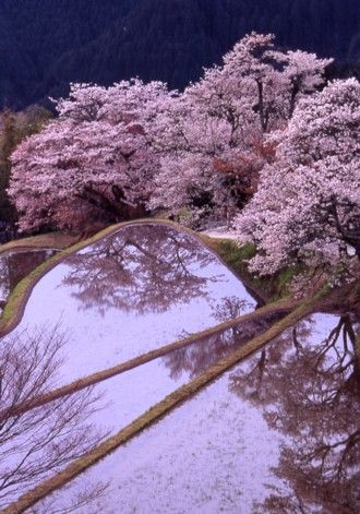 Cherry trees at Mitaki, Mie, Japan 三多気の桜