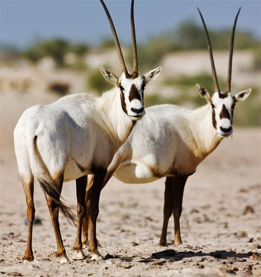 Arabian Oryx | Arabian Oryx Hunts