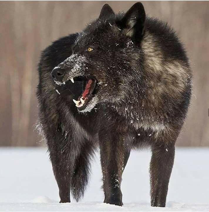Angry Wolf Wolf Hunde Schwarzer Wolf Ausgestopftes Tier