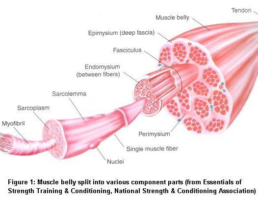 Inside a Muscle fibre