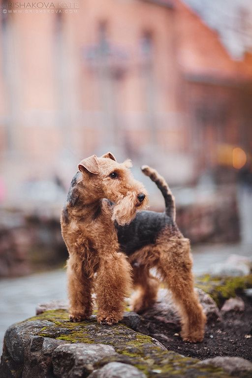 Welsh Terrier. By Grishakova.