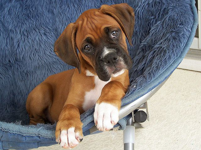 Fawn Boxer Puppies With Blue Chair