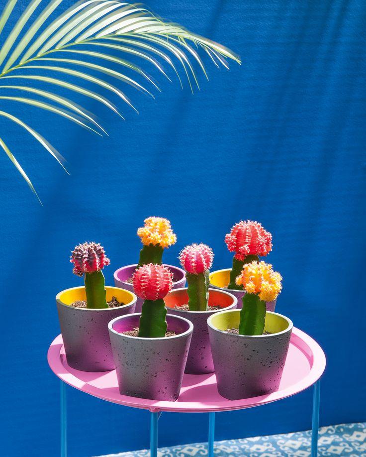 Des cactus colorés pour une déco exotique !