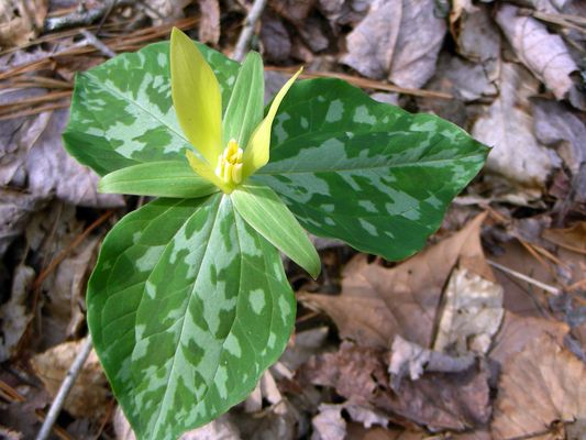 32 best images about tennessee native plants on pinterest