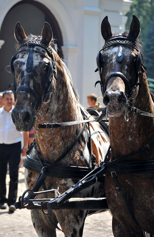 The most beautiful driving horses