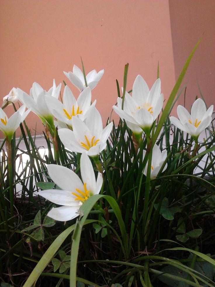 pink n white by Wie (Cisarua)Favorite Places, Wie Cisarua, Pretty Flower