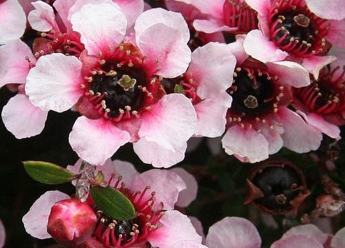 Western Australian Flower - Myrtle  Really pretty :)  Found At: http://www.softalbum.com/2011/09/flower-wall-3/