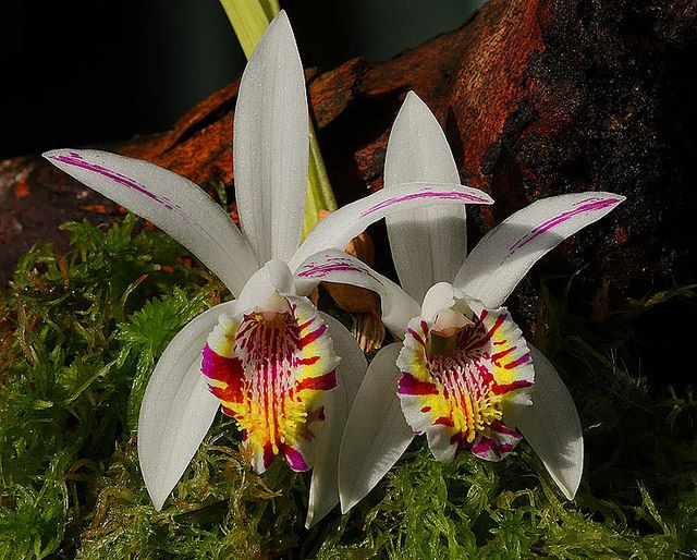 Spotted Pleione -  Pleione maculata (Asparagales - Orchidaceae), a species native to India, Nepal, Myanmar (Burma), Thailand, Laos, Vietnam, and Yunnan China