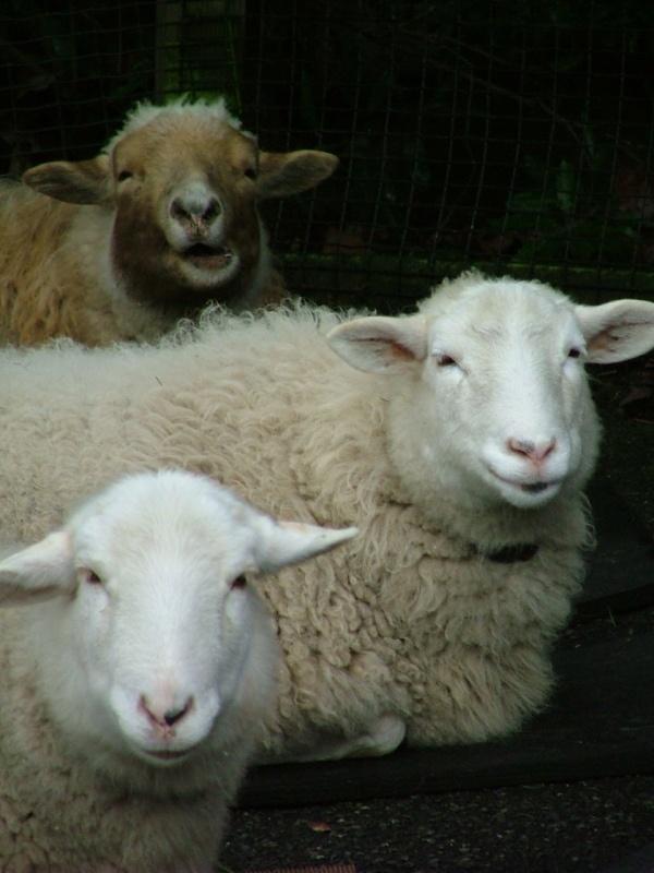 sheepAdorable Sheep, Happy Sheep, Zoos Seattle, Farms Animal, Lambs, Sheep Kin, Living, Seattle Sheep, Woodland Parks Zoos