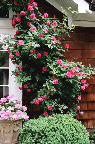 Roses climbing the side of a house. Position trellises at different sides of the house to create a path for the roses to grow upon.