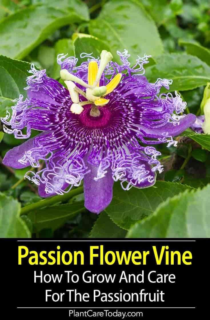Passion Flower Vine Growing The Passiflora Plant In 2020 Flowering Vines Passion Flower Passiflora