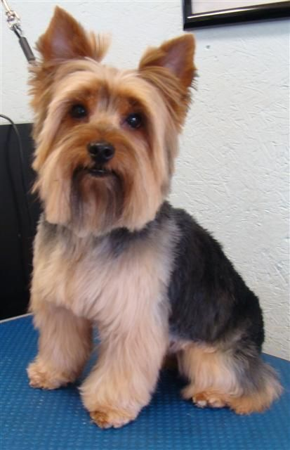 Yorkies Haircuts Style Male Dogs Yorkie Hair Cuts Or