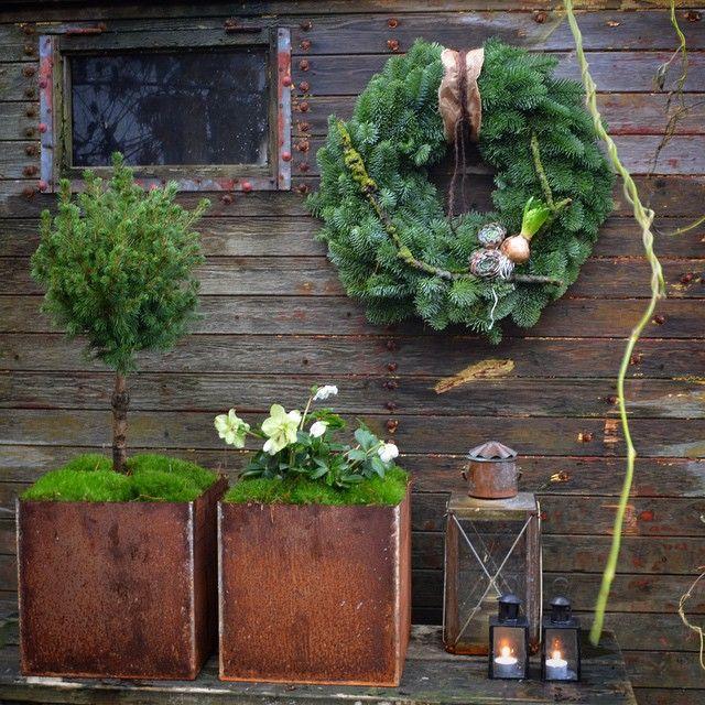 """890 gilla-markeringar, 39 kommentarer - Tvååker (@lillagrona_viktoria) på Instagram: """"Första julpiffet på plats och dahliorna är uppe, det går bra nu! #julfint #vinterträdgård…"""""""