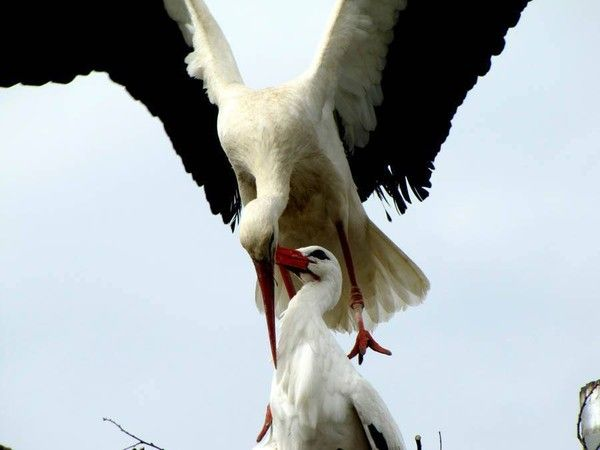 Stork Flies Thousands Of Miles Every Year Just To See His Injured Soul Mate