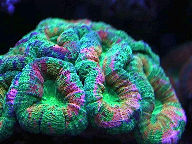 Rainbow Chalice Coral-lobophyllia