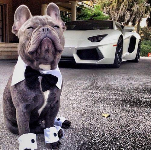 Fancy French Bulldog with Lamborghini. Bat dog and bat car