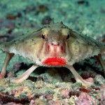 Bat fish - it rozovoguby bat. Fish of the sea, but easily transfers the contents in an aquarium.