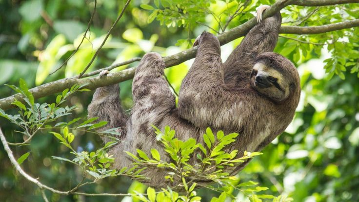 Bradypus pygmaeus, known as pygmy three-toed sloth, is a critically endangered species because of human threats and predators. They are endemic to Isla Escudo de Veraguas, an island in Panama that is...