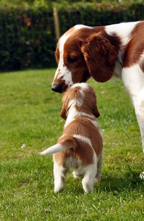 Welsh Springer Spaniel.